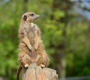 Meerkat posng Zdjęcia Stock