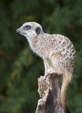 Meerkat on a Post Stock Photo