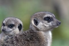 Meerkat potrait - nature picture. Meerkat cub with adult meerkat. Meerkats belong to the species of mongooses. They live in arid regions in southern Africa, for Stock Photography