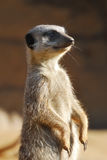 meerkat pozycja Obraz Stock