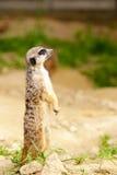 Meerkat pozycja zdjęcie stock