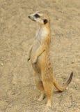 meerkat pozycja Zdjęcie Royalty Free
