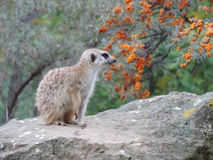 The meerkat in the Prague Zoo Royalty Free Stock Photo