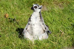 Meerkat Praying. Meerkat sitting on the grass as if praying Stock Image