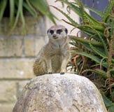 Meerkat predator mangustov mammal Savannah claws Stock Photos