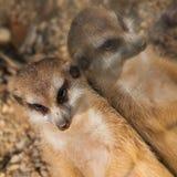 Meerkat preguiçoso Imagem de Stock Royalty Free