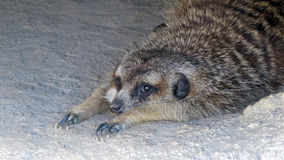 Meerkat preguiçoso Foto de Stock Royalty Free