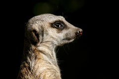 Meerkat Profile Stock Image