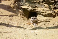 Meerkat protecting its little cub Stock Photography