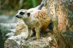 Meerkat przy zoo Fotografia Stock