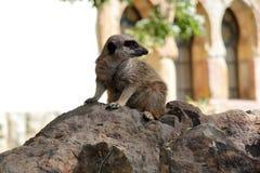 Meerkat przy zoo Obrazy Royalty Free