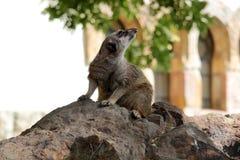 Meerkat przy zoo Zdjęcie Stock