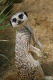 Meerkat pup Royalty Free Stock Photography