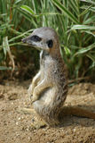 Meerkat pup sitting upright. Young meerkat facing to the left in profile. Sat upright on hind legs. Background of sand and vegetation Royalty Free Stock Image