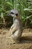 Meerkat pup Royalty Free Stock Image