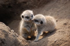 Meerkat pups at their burrow in Namibia. These two meerkat cubs were photographed in front of their nesting site in Etosha National Park, Namibia Royalty Free Stock Photos