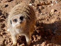 Meerkat a quattro zampe Immagini Stock