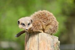 Meerkat que busca la comida Imagen de archivo libre de regalías