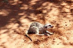 Meerkat que cava el desierto de Kalahari rojo de la arena Foto de archivo libre de regalías
