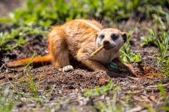 Meerkat que cava en el suelo para cazar los gusanos para comer en luz del sol imagen de archivo