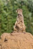 Meerkat que da vuelta detrás Foto de archivo libre de regalías