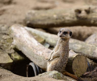 Meerkat que está em rochas no protetor Imagem de Stock Royalty Free