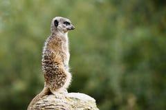 Meerkat que guarda el territorio en la roca Imagenes de archivo