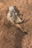 Meerkat que juega absolutamente Imagen de archivo libre de regalías