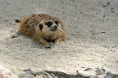 Meerkat que le mira Imagenes de archivo