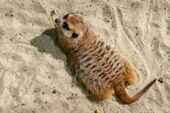 Meerkat que le mira Fotografía de archivo
