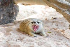 Meerkat que miente en el parque zoológico Foto de archivo libre de regalías