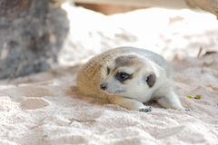 Meerkat que miente en el parque zoológico Fotografía de archivo libre de regalías