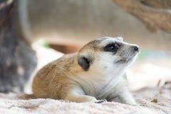 Meerkat que miente en el parque zoológico Fotos de archivo libres de regalías