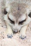 Meerkat que miente en la arena Fotografía de archivo libre de regalías