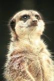 Meerkat que mira fijamente para arriba Fotos de archivo libres de regalías