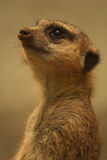 Meerkat que olha acima Imagem de Stock Royalty Free