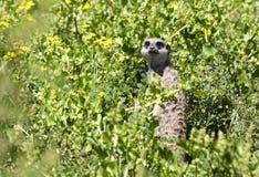 Meerkat que olha fixamente na câmera, África do Sul foto de stock