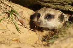 Meerkat que olha fora de seu burrow Fotos de Stock Royalty Free