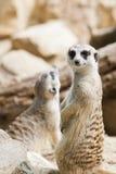 Meerkat que se coloca con la cola Imagen de archivo