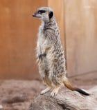 Meerkat que se coloca en una roca Fotografía de archivo
