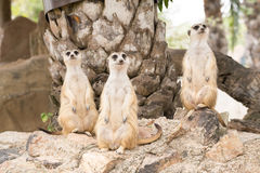 Meerkat que se coloca en una roca Foto de archivo