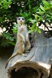 Meerkat que se coloca vertical Imagenes de archivo