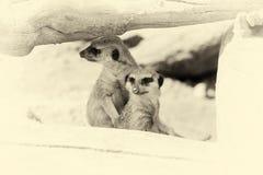 Meerkat que se coloca vertical y que parece alerta Efecto del vintage Imagenes de archivo