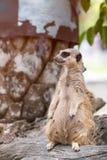 Meerkat que se colocaba sobre tocón y que miraba una encuesta para condujo imagen de archivo libre de regalías