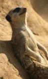 Meerkat que se reclina sobre una roca Imagen de archivo