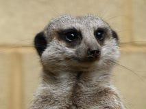 Meerkat que se sienta en el sol imagen de archivo