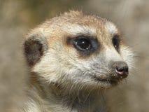 Meerkat que se sienta en el sol foto de archivo