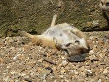 Meerkat que se sienta en el sol foto de archivo libre de regalías