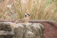 Meerkat que se sienta en la roca y el puesto de observación en naturaleza Fotos de archivo libres de regalías