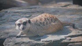 Meerkat que senta-se em uma pedra Suricata no jardim zoológico aberto filme